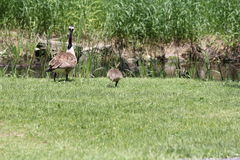 Canada Geese and Goslings on Grass. Adult Canada Geese and Goslings swimming by in a slow moving stream, being watched by adult and gosling geese Royalty Free Stock Photos