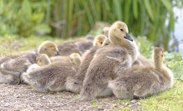 Canada geese goslings , hertfordshire, england Stock Images