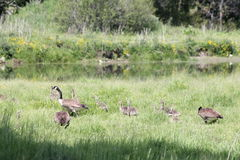 Canada Geese & Goslings Stock Photo