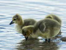 Canada geese goslings at local lake in Scottsdale royalty free stock photos