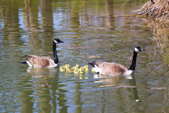 Canada geese with goslings Royalty Free Stock Photos