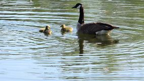 Canada Geese with Goslings stock video footage