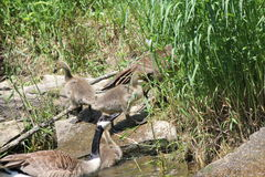 Canada Geese and Goslings on Rocks Royalty Free Stock Images