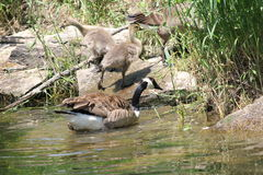 Canada Geese and Goslings on Rocks Royalty Free Stock Photo