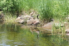 Canada Geese and Goslings on Rocks Stock Image