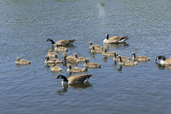 Canada geese and goslings Royalty Free Stock Image