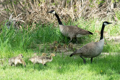 Canada Geese with goslings. Royalty Free Stock Image