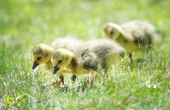 Canada geese goslings strolling in the grass Stock Images