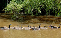Canada Geese Goslings Family Royalty Free Stock Photo
