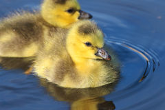 Canada Geese Goslings Swimming Stock Images