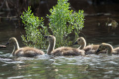 Canada Geese goslings swimming in a row Royalty Free Stock Photography