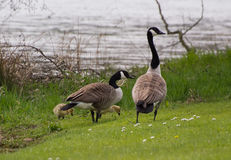 Canada Geese with Goslings Royalty Free Stock Photography