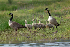 Canada Geese and goslings walking along the shore. Royalty Free Stock Images