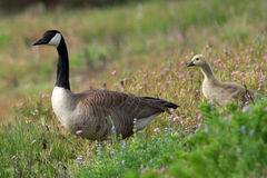 Canada Geese and goslings walking in flowers Stock Photo