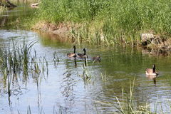 Canada Geese and Goslings in Water. Adult Canada Geese and Goslings swimming  in a slow moving stream Stock Images