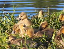Canada Geese Goslings Stock Images