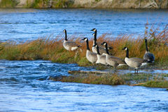 Canada Geese Green River Royalty Free Stock Photo