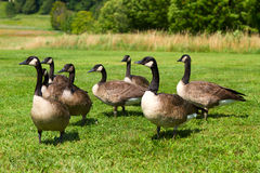 Canada Geese. Group of Canada Geese on the green grass Royalty Free Stock Photos