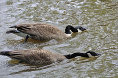 Canada Geese heading to fight Stock Photography