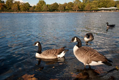 Canada Geese in Hyde Park. Autumn in evening in Hyde Park in London with Canada Geese royalty free stock photography
