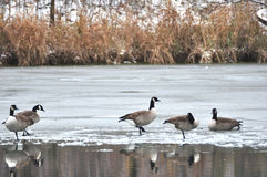 Canada Geese on Ice. Canada geese on a frozen pond Royalty Free Stock Image