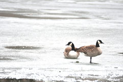 Canada Geese on Ice. Canada geese on a frozen pond stock photography