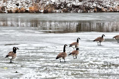 Canada Geese on Ice. Canada geese on a frozen pond royalty free stock photography