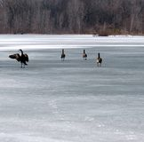 Canada Geese on the Ice. Several geese, who arrived too early in the Spring, wonder why the water on the pond is hard stock photos
