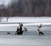 Canada Geese on the Ice. Several geese, who arrived too early in the Spring, wonder why the water on the pond is hard stock photography