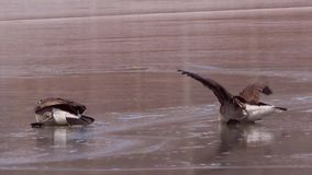 Canada Geese on ice stock video footage