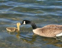 Canada Geese Interaction Stock Photo