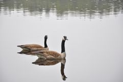 Canada Geese on Lake Royalty Free Stock Images