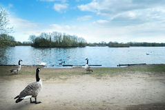 Canada geese on a lake. Geese in front of a beautiful lake. Beautiful sky stock images
