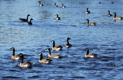 Canada geese on a lake. Canada geese, Branta canadensis, on a lake during fall south migration Stock Image