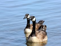 Canada Geese on Lake. Two beautiful Canada geese swimming in blue water of lake royalty free stock image