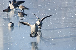 Canada Geese Landing on Frozen Lake Royalty Free Stock Photo