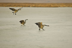 Canada Geese landing on ice. Canada Geese (Branta canadensis) landing on ice to rest on their way north through Montana Royalty Free Stock Photo