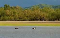 Canada Geese landing on a lake Royalty Free Stock Images