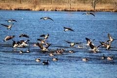 Canada geese landing on a lake stock photos