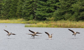 Free Canada Geese Landing On A Lake Royalty Free Stock Images - 78894169