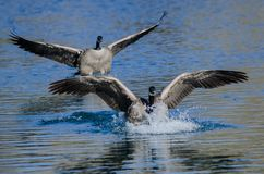 Canada Geese Landing On The Still Blue Pond Water Royalty Free Stock Photo