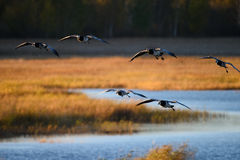 Canada geese landing over water Royalty Free Stock Photo