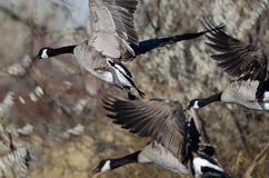 Canada Geese Landing in the Wetlands royalty free stock photography