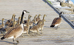 Canada Geese lead their young goslings across the Boardwalk Royalty Free Stock Photos