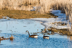 Canada geese and mallard ducks. Pair of Canada geese and Mallard ducks in a marsh in early spring Stock Image