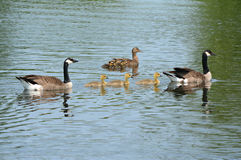 Canada Geese With Mallard Ducks On Pond. Vibrant spring perspective on Canada goose and mallard duck families, swimming alongside each other on a freshwater pond Stock Photos
