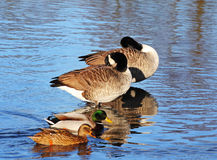 Canada Geese and Mallards on a River Stock Photo