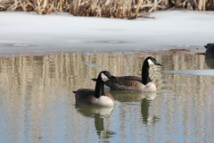 Canada Geese in Marsh Royalty Free Stock Photos