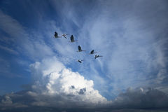 Canada geese migrating Stock Image