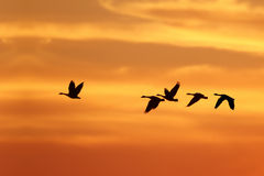 Canada Geese Migrating South in Autumn Royalty Free Stock Images